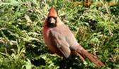 Cardinal-rouge.JPG