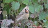 Cardinal-femelle.JPG